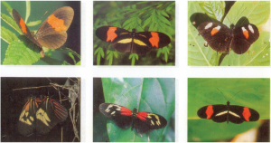 """Figura 1. Borboletas Heliconius erato - um exemplo de """"espécie politípica"""". Os padrões de coloração das raças geográficas são tão distintos quanto aqueles vistos entre espécies diferentes. (Extraído de SHEPPARD et al. 1985)."""