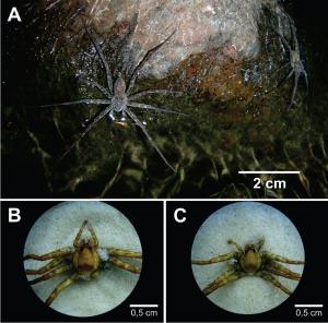"""Figura 2. Aranhas do gênero Paratrechalea - exemplo de """"espécies crípticas"""". A identificação só pode ser feita por um especialista através da visualização da genitália em estereoscópio. A) P. azul, mais à frente, e P. ornata, ao fundo. B) Vista dorsal de P. azul; C) Vista dorsal de P. ornata. (Fotos de L. E. Costa-Schmidt)."""